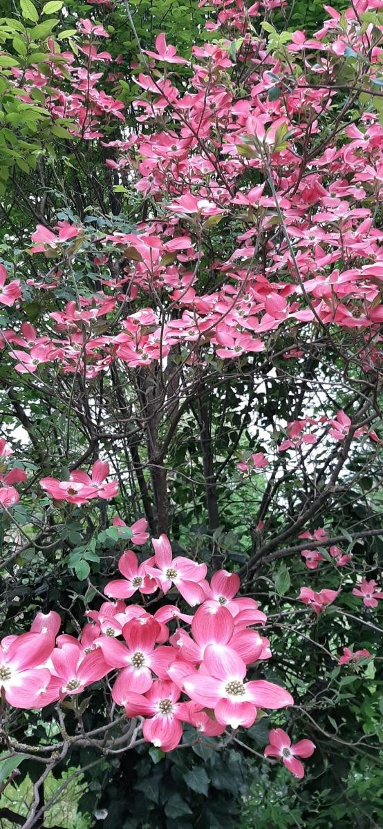 Cornus-florida-rosa-Nella-