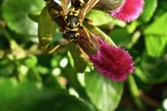 Salvia buchananii - Manuela