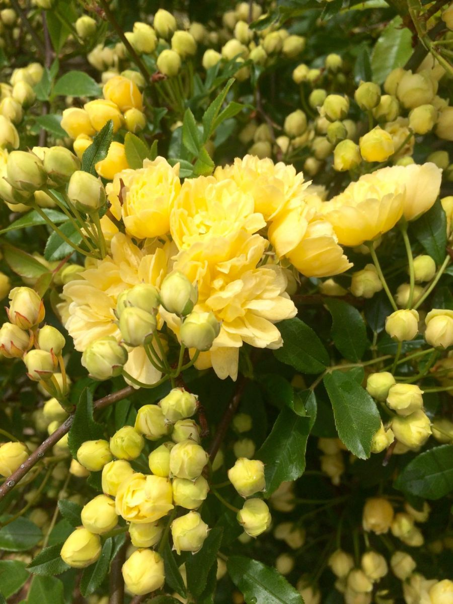 Banksia-lutea-Manuela-