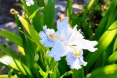 Iris japonica - Brunella