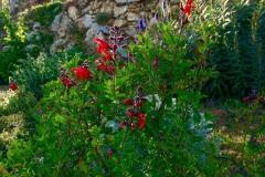 Salvia CherryQueen - Manuela