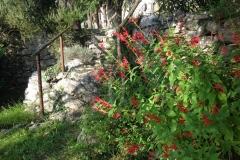 Salvia elegans alle Figarole di Lerici - Brunella